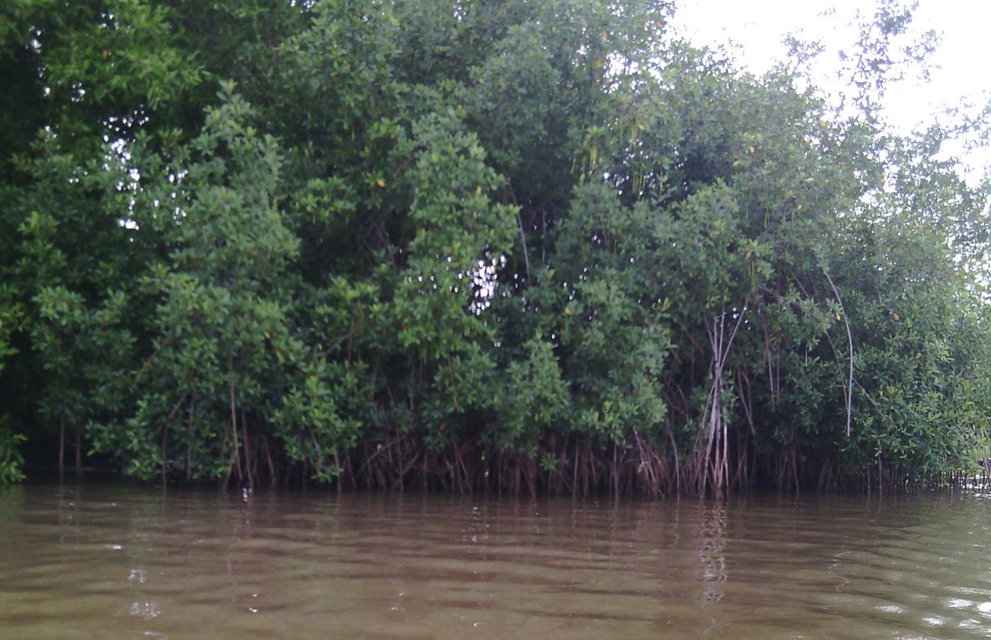 La mangrove, quelle richesse pour le lac Ahémé?
